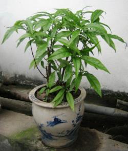 Cây hoàn ngọc - Đông dược Phú Hà