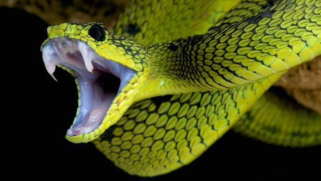 Chữa rắn độc cắn bằng đông y